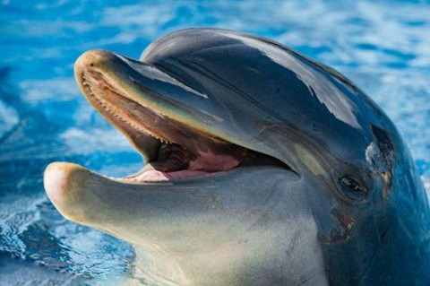 Ученые обнаружили дельфина, который научился разговаривать на языке морских свиней