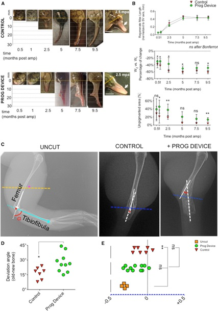 Ученые заново отрастили лягушкам ампутированные конечности