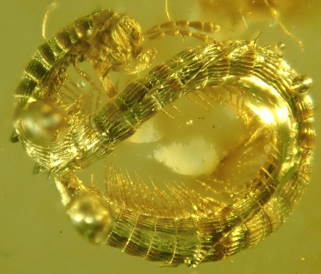 Ученые обнаружили в янтаре существо, которое жило 99 млн лет назад