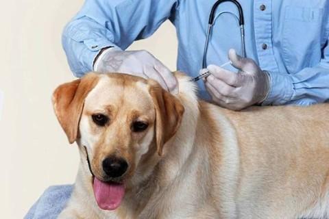В США начали клинические испытания вакцины от рака для собак