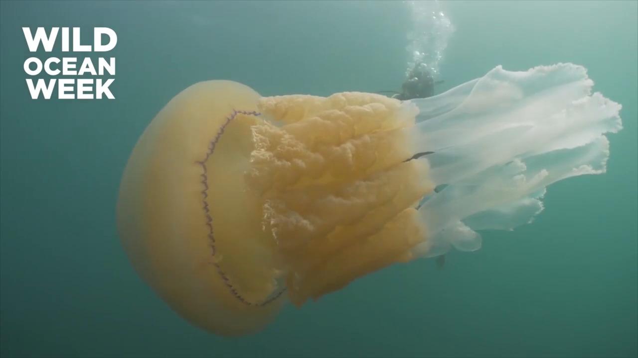 В британских водах нашли медуз-гигантов