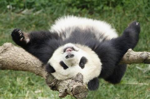 Китайские ученые начнут клонировать панд