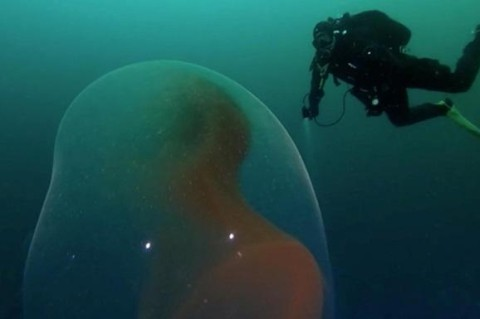 Дайверы засняли в океане эмбрион странного вида