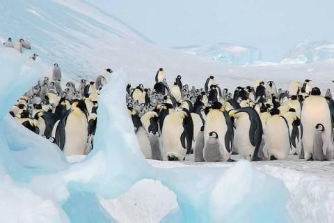 Ученые: императорским пингвинам грозит вымирание, если климат на Земле прогреется еще сильнее