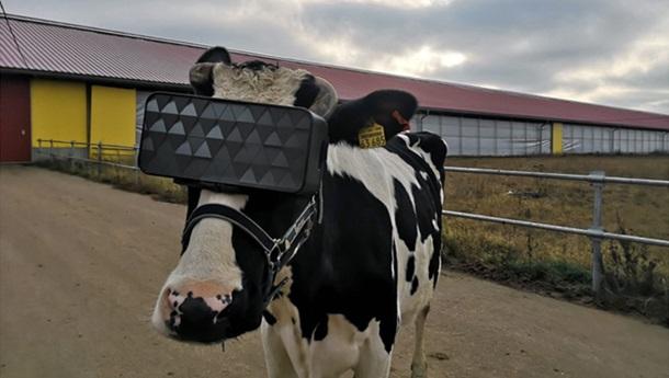 На российской ферме протестировали виртуальные очки для коров