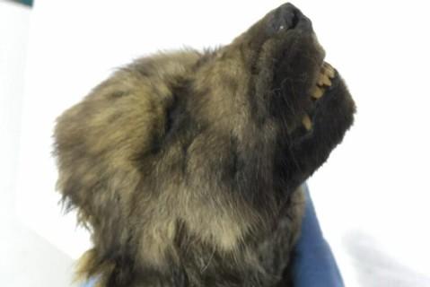 Пес из Ледникового периода: палеонтологи нашли в Якутске щенка, которому 18 тысяч лет