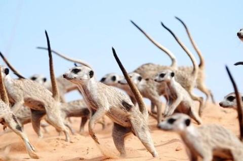 Исследователи показали боевой танец сурикатов
