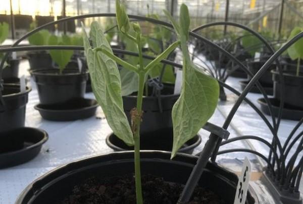 Ученым удалось вырастить фасоль на марсианской почве