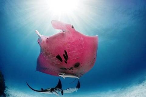 В сети появился снимок единственного в мире розового ската