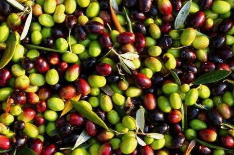 Ученые из оливковых косточек создали биоразлагаемый пластик