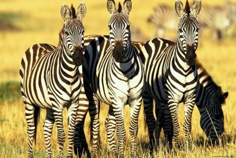 Ученые опровергли миф о шкуре зебр