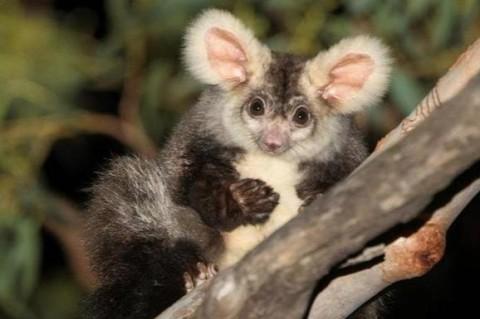 Австралийские ученые нашли два новых вида редкого животного