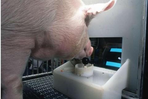 Ученые научили свиней играть в компьютерные игры: что получилось в результате