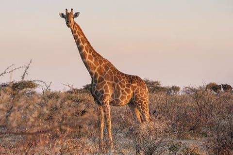 Китайские ученые нашли гены мутации у жирафов, защищающие их от высокого давления