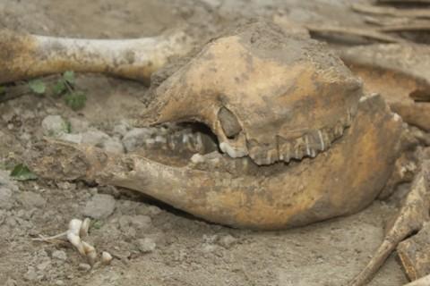 В Узбекистане фермер нашел останки древнего гигантского носорога