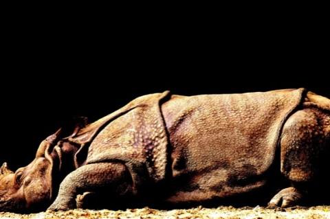 В Китае нашли новый вид носорога-гиганта