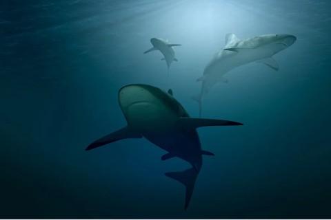 Ученые шокированы: акулы охотятся по очереди, чтобы не ссориться