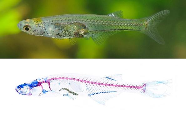 В Германии ученые открыли новый вид рыб с самым маленьким мозгом