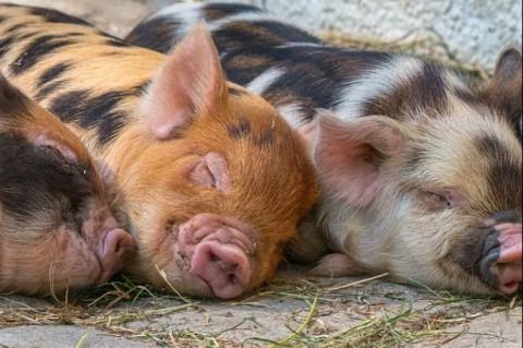 Ученые: Свиньи гораздо умнее обезьян и собак